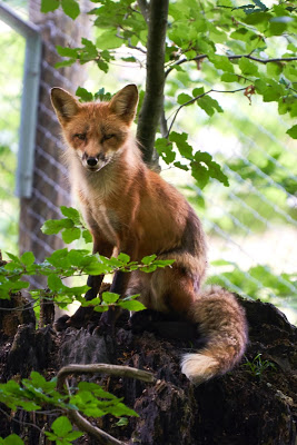 image of brown fox on a tree branch, watching